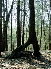 walking birch