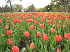 Canadian Tulip Festival - Commissioners Park 20