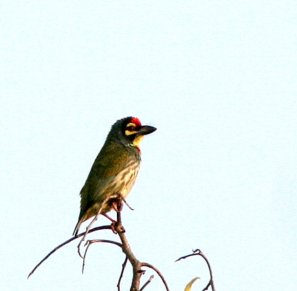 coppersmith barbet pune