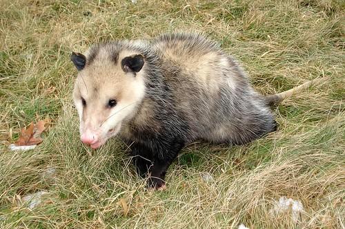 Playing Possum