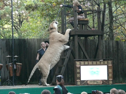 Hercules - the Worlds Biggest Liger!!