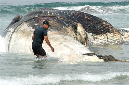Ballena azul, el animal más grande en el mundo