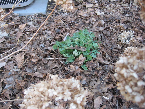 Celandine poppy emerging through the mulch (by RPOPtream)