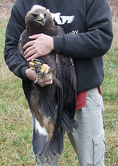 show-and-tell golden eagle 1