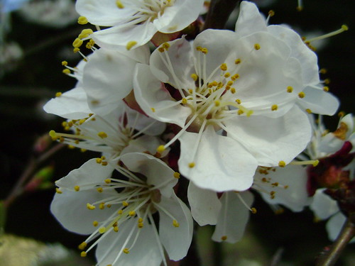 Apricot flowers again