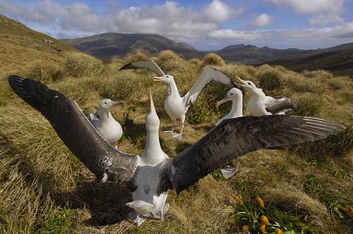reunion de albatros