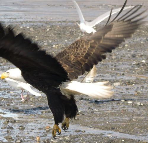 The Eagle is Landing! (by Leaca's Philosophy)