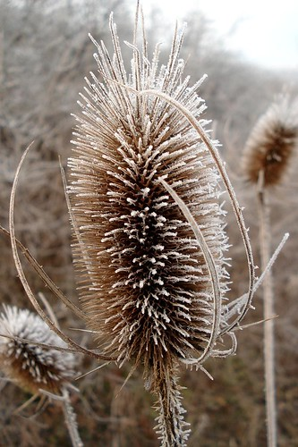 Common Teasel frosted