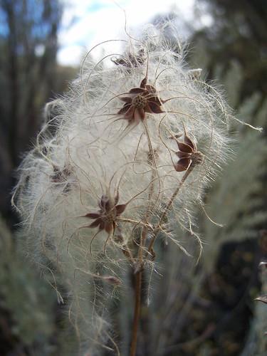 desert flower seeds