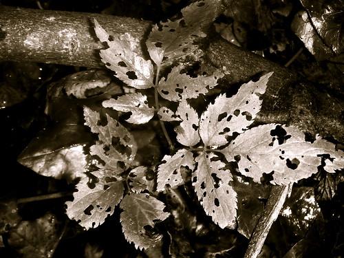 Eaten Leaf