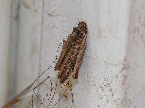 Bagworm moth case, Psyche casta