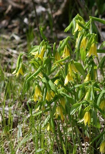 Sessile Bellwort, Uvularia, sessilifolia