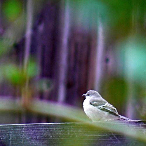 Mockingbird in front of old barn