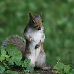 Irish squirrel