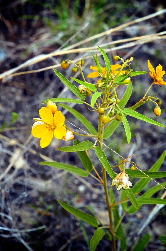 Two-leaf senna