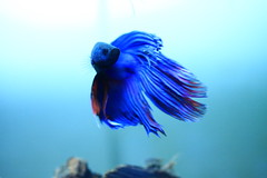 Siamese fighting fish #2