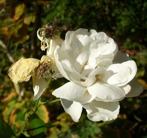weiße Rose und Fliege
