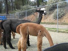 2008Apr19_Alpacas_1889