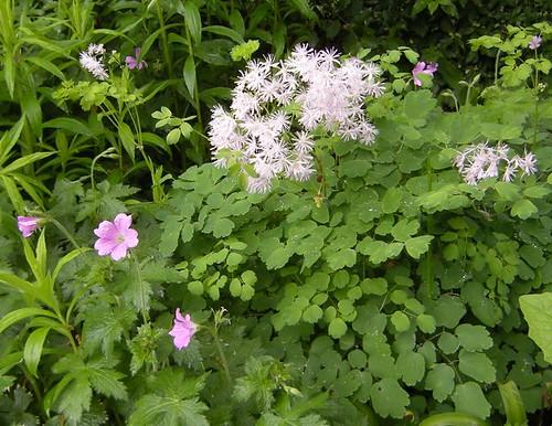 Akeleiblättrige Wiesenraute und Geranium
