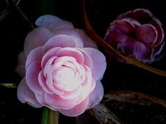 183_1822  fallen Camellia