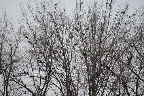 Starlings in the tree!