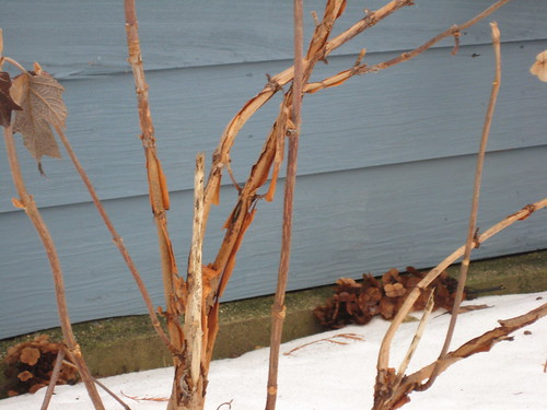 Oakleaf hydrangea in winter