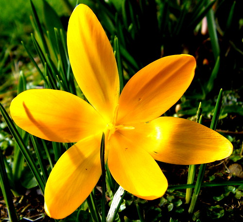 Yellow Crocus or a Star?