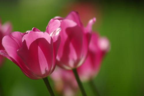 pink tulips, istanbul tulip festival, istanbul, pentax k10d