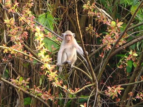 Petchburi Monkey
