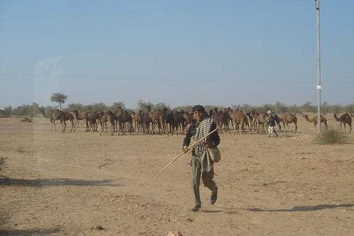 前往Jaisalmer路上1-52路上駱駝群