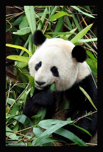 CHENGDU PANDA BASE..CHINA