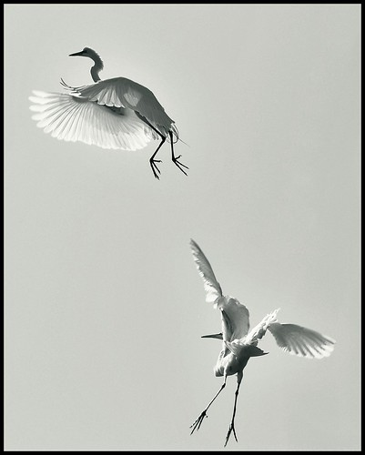 egrets in b&w (by *Karo*)
