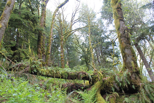 Cougar Mountain - Licorice Fern Trail - Trees and Greenery From Below