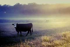 Sunrise and a cow by *owen