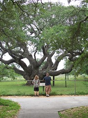 Big Oak Tree