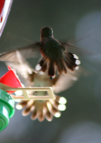 two female black-chinned facing off for the feeder