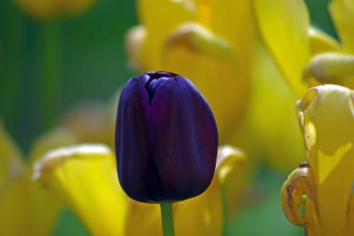 black-purple tulip, Istanbul tulip festival