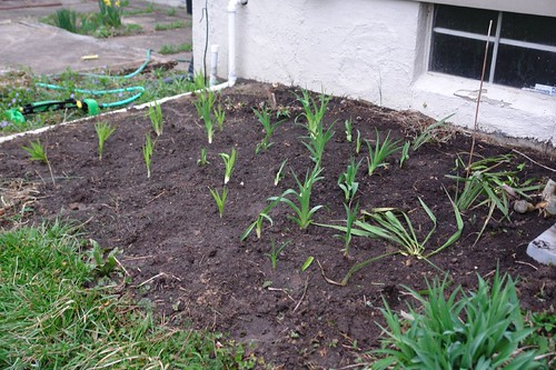 Day Lily Bed