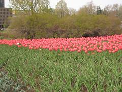 Canadian Tulip Festival - Commissioners Park 24