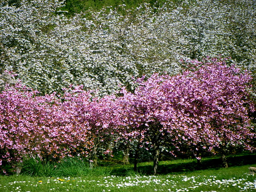 Sea of Blossoms