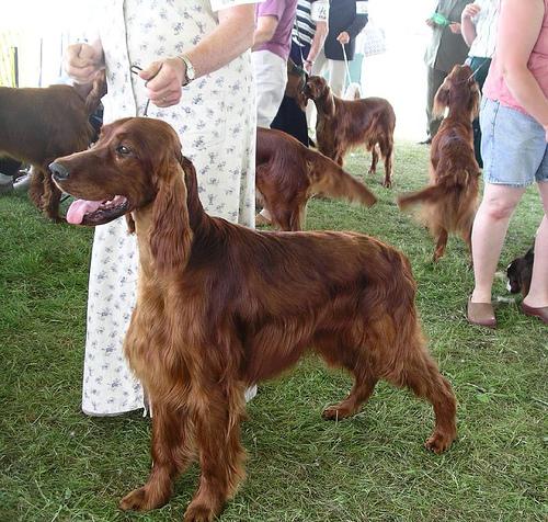 setter irlandes concurso canino