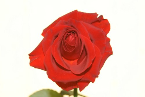 Valentine's Day rose for me!