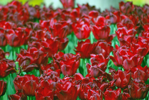 red tulips, Istanbul Tulip Festival, Pentax K10D