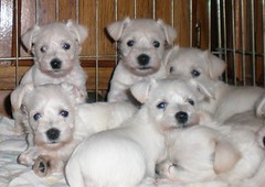 White Miniature Schnauzer Puppies