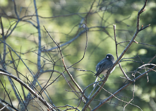 Junco by Lee Petersen