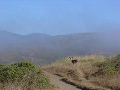 Deer on coastal trail
