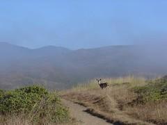 Deer on coastal trail