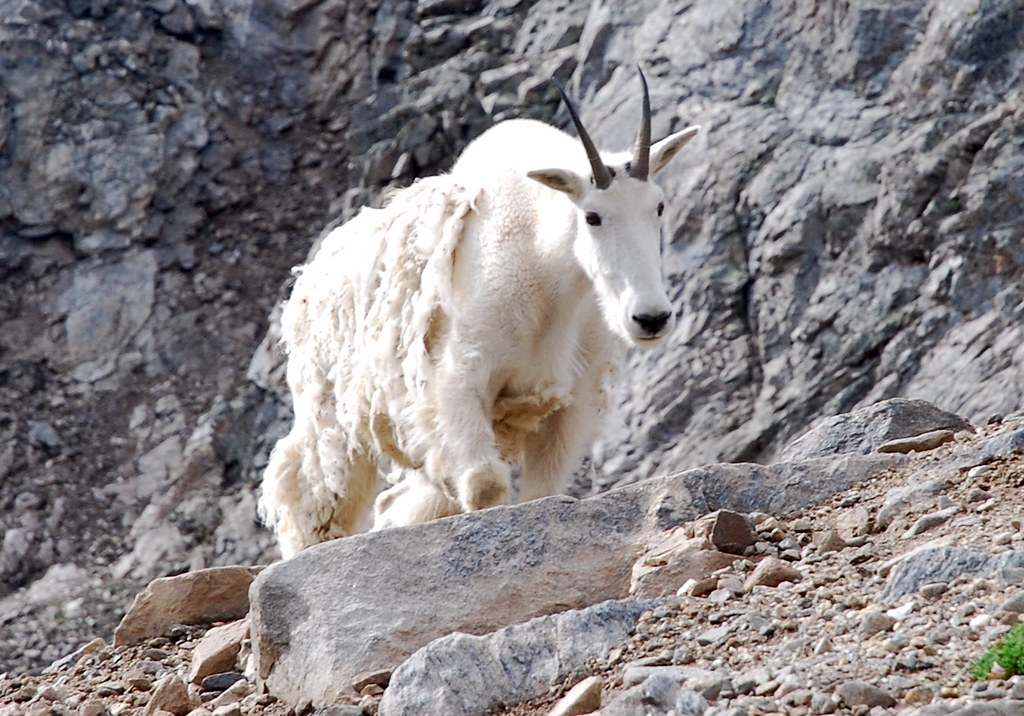 mountain goat 3