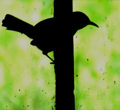 Carolina wren silhouette
