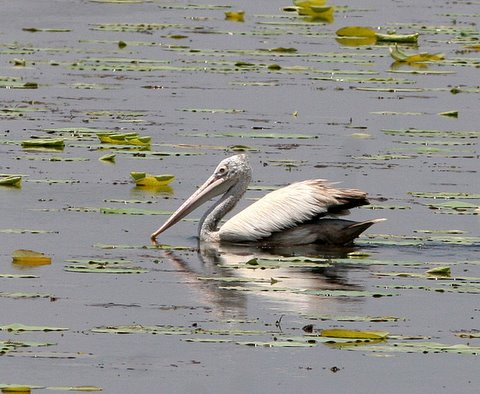 spot billed pelican near maddur 180308